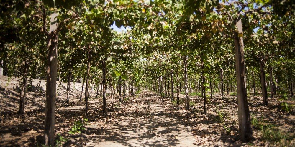 Wijnboerderij Ica Peru, druivenranken in bloei