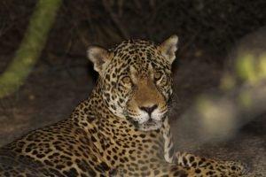 Paulo de Boer, jaguar