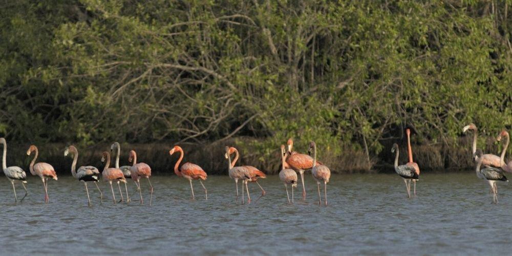 Flamingos birds- vogels Suriname